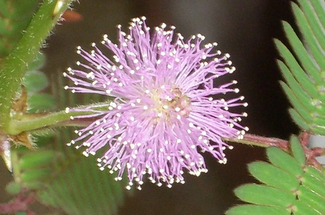 how to get rid of mimosa pudica