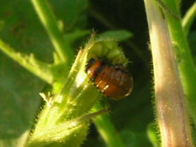 Colorado Potato Beetle Larva   The larva of a Colorado ...