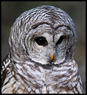 Barred owl portrait 1 | by Jen St. Louis