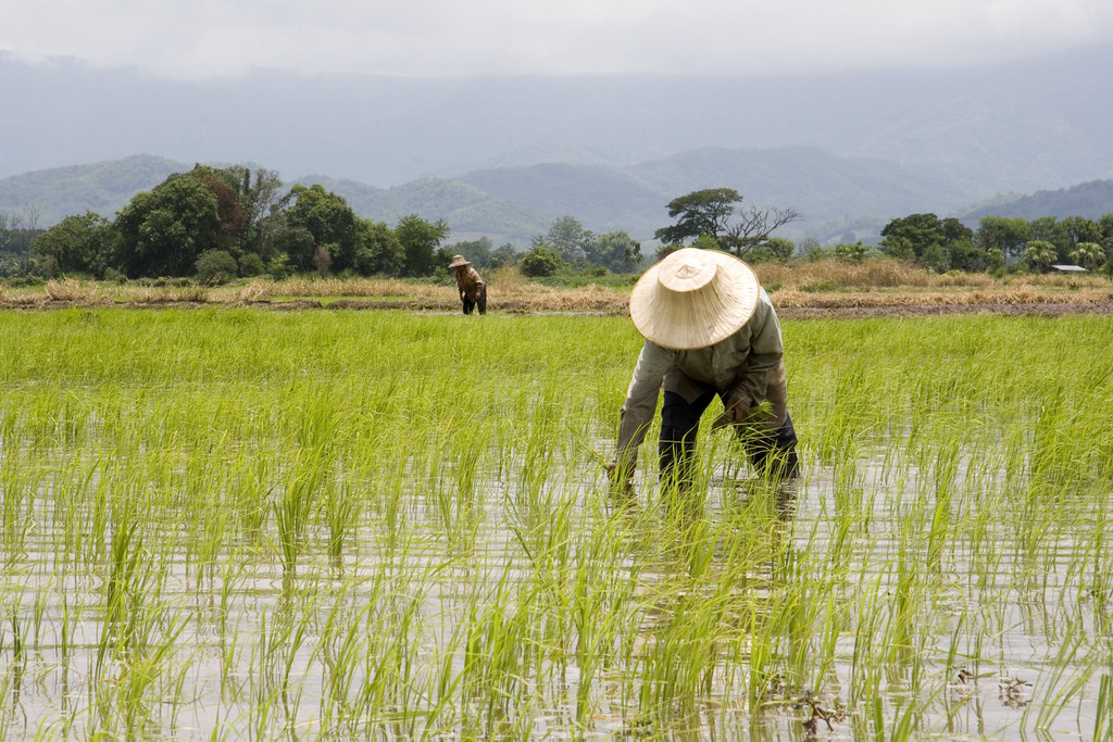 how to plant rice
