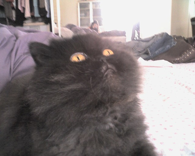 Cute Black Persian Cats Cute Black Persian Cat
