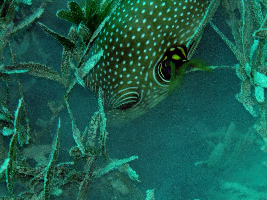 Giant puffer fish eating sea grass nic flickr for Giant puffer fish