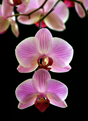 Phalaenopsis orchid... | by pieceoflace photography