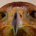 Águila Imperial (Aquila Heliaca Adalberti)