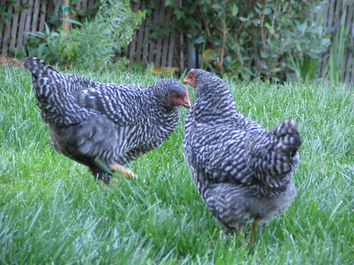 chooks dancing in the grass for grapes | by thomas pix