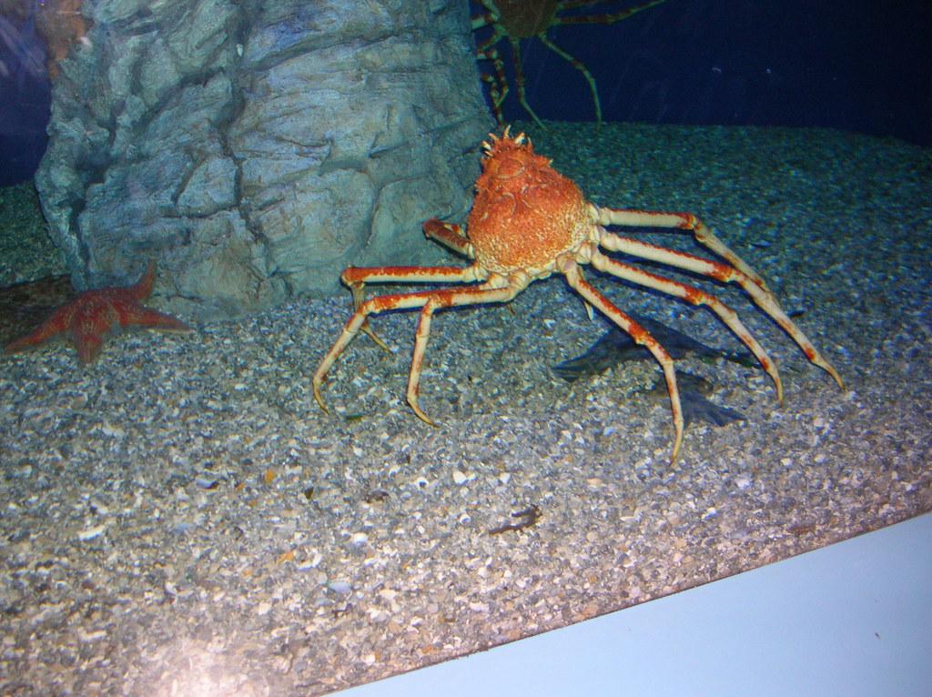 Spider Crab Size Giant Spider Cr...