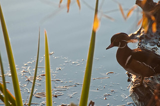 Wood Duck (Aix sponsa) | by Holy Outlaw