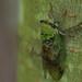 cicada3
