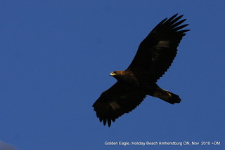 Golden Eagle | by dwaynejava