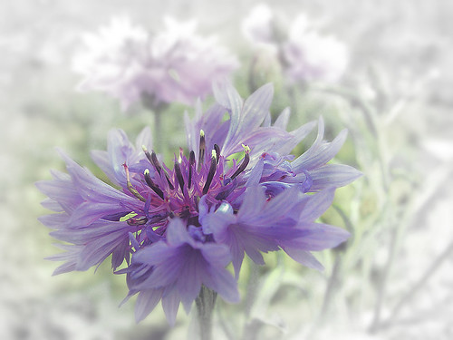 Photofriday: Purple | by marlaspics