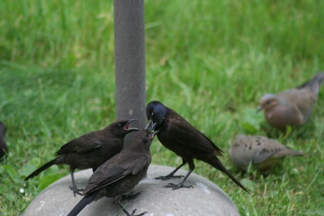 fledgling grackle - photo #45