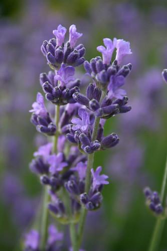 Lavender Close Up Of Lavender Thowra Uk Flickr