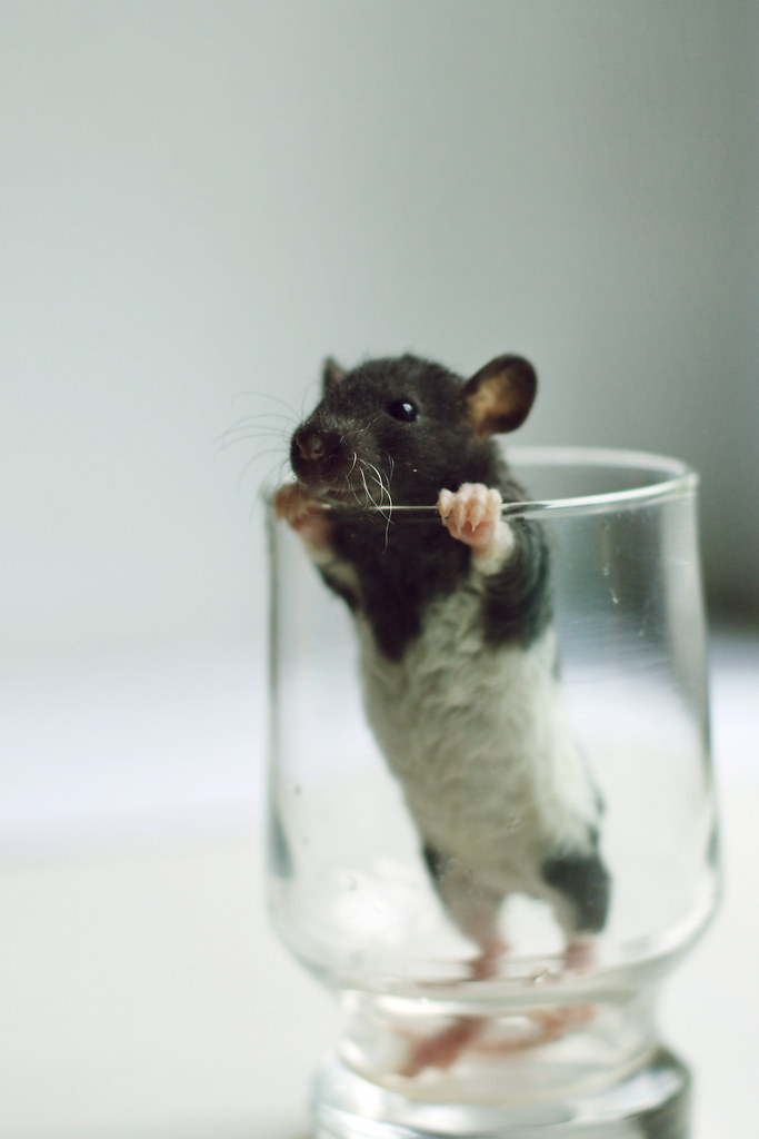 Cute baby rats - photo#8