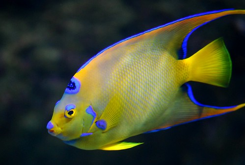 Queen angelfish, Holacanthus ciliaris (best in large view ...