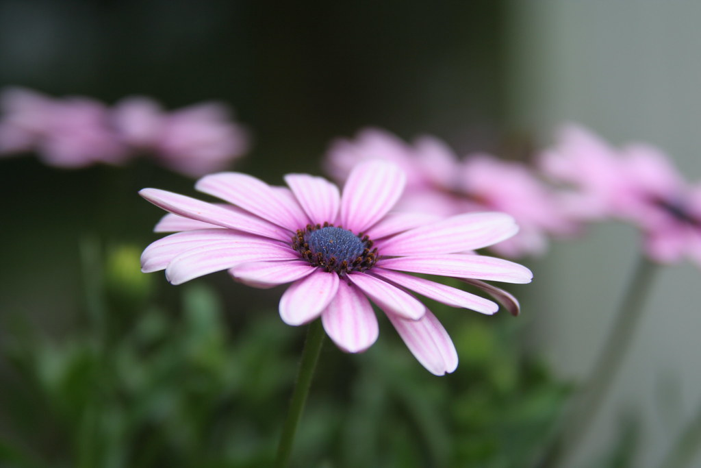 Simple Flowers Osteospermum Simple Flowers An Osteosper Flickr