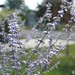 The Russian Sage is Blooming