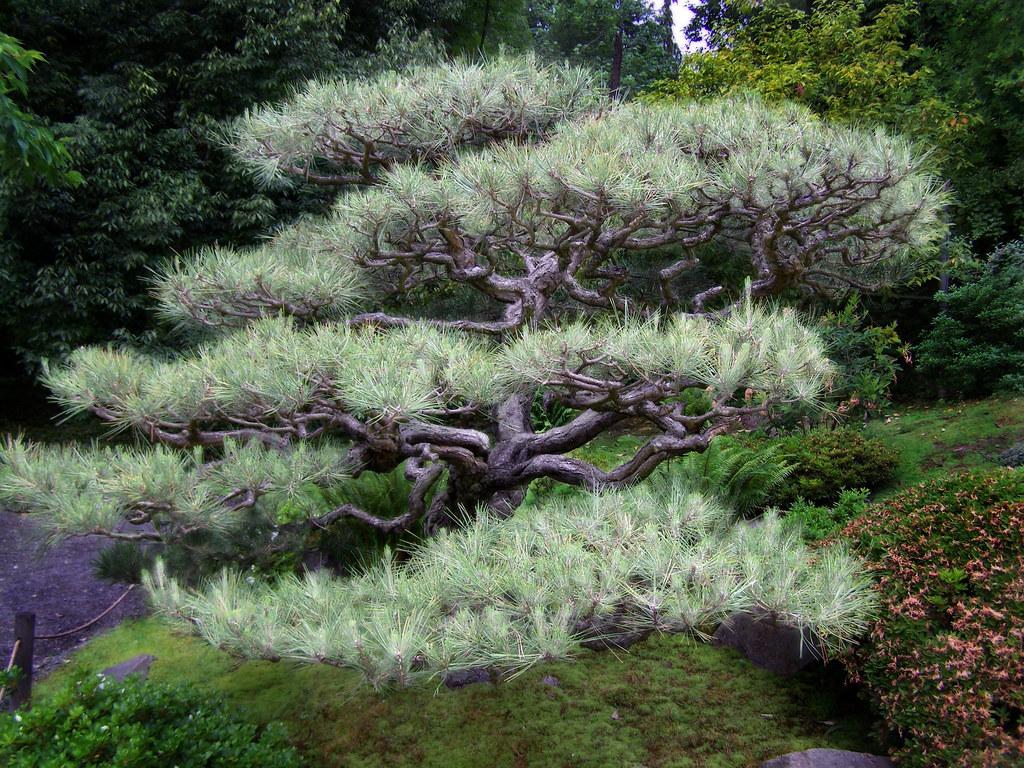 The Century Old Black Pine
