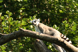 Ring Tailed Lemur | by assortedstuff