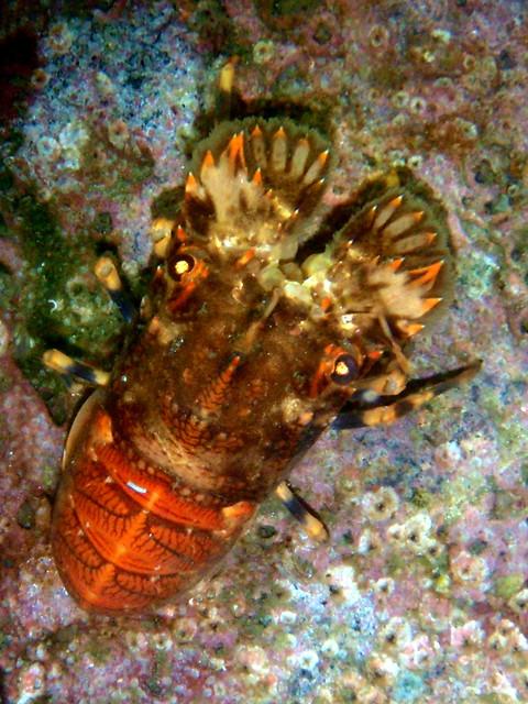 #524 slipper lobster (セミエビ) | Flickr - Photo Sharing!