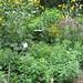 Meadow Perennials
