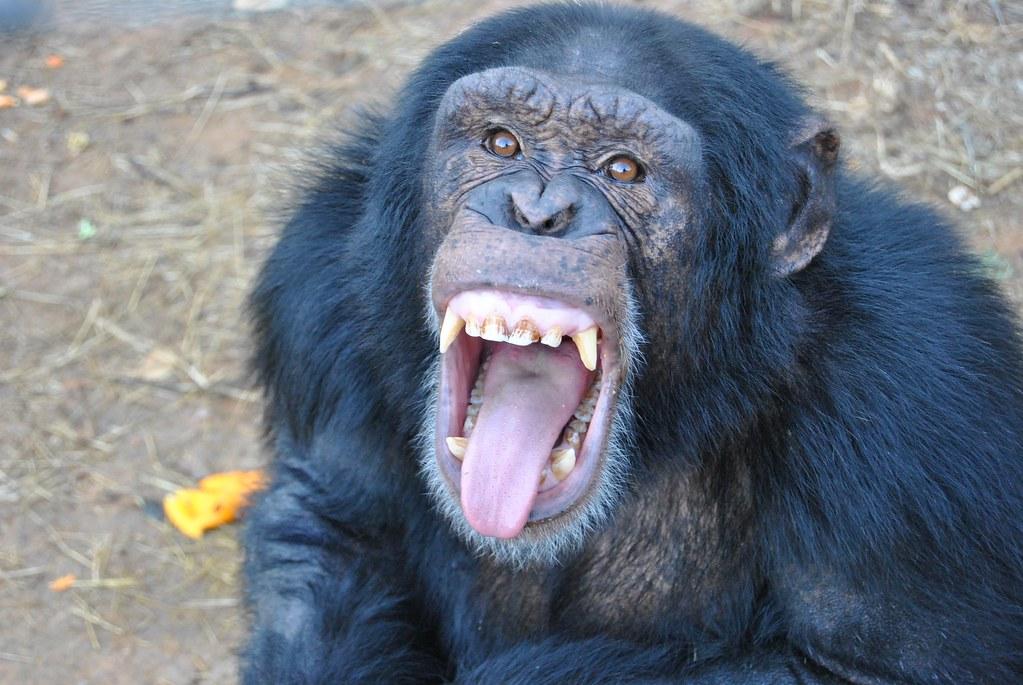 Chimpanzee With A Pet Dog