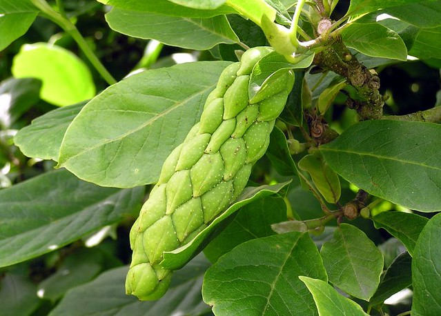 Magnolia Sp The Fruit Unripe Seed Pod Magnolia X