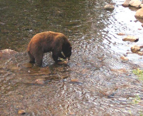 Brown Bear with fish at Mammoth Lake, California | by moonjazz