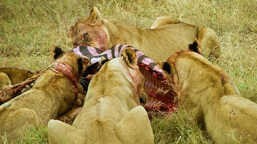 What do white lions eat - photo#24