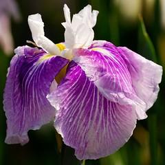 Purple in June