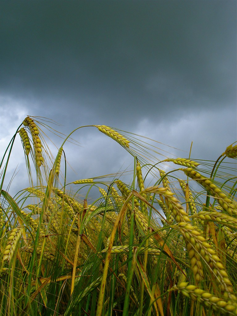 barley fields by nitrok - photo #35