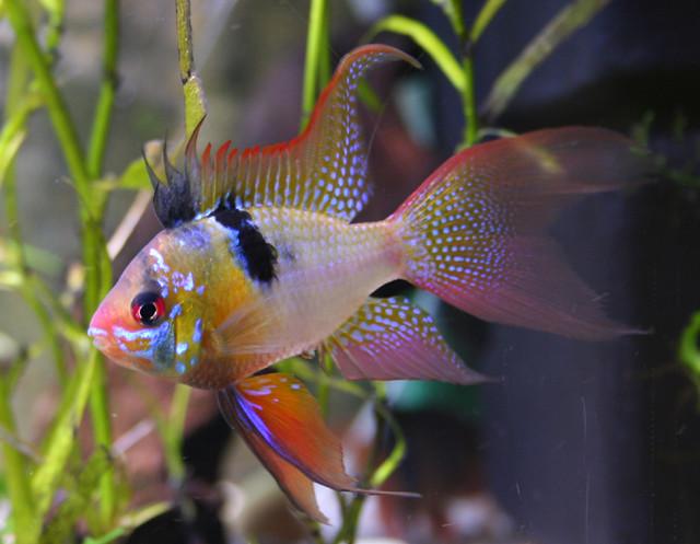 Male Microgeopagus Ramirezi Jorge Garcia1978 Flickr