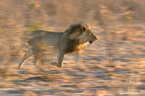 Khaudum Lion running at sunset 106_0609_RJ | by WildImages