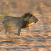 Khaudum Lion running at sunset 106_0609_RJ