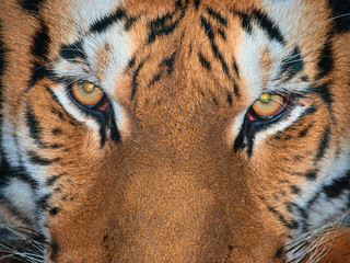 Tiger gaze 02 | by Podsville