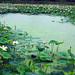 Lotus lake in Kyungju South Korea