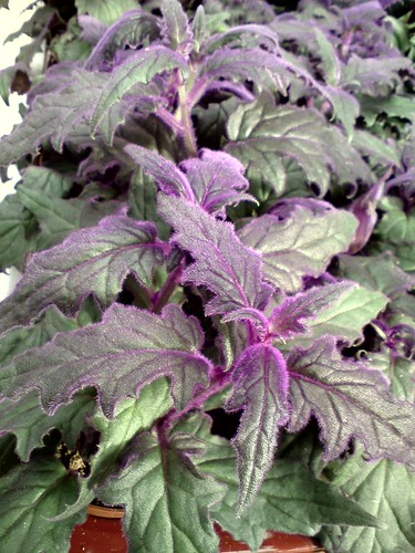 gynura aurantiaca cv   u0026 39 purple passion u0026 39   probably
