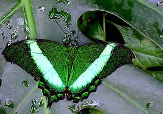 Green on Green -- this is a Green Banded Peacock Swallowtail, Papilio palinurus | by Toria Clark