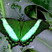 Green on Green -- this is a Green Banded Peacock Swallowtail, Papilio palinurus