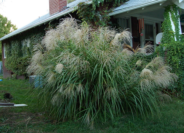 Tall grass flickr photo sharing for Tall ornamental grasses for screening