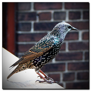 Mozart's Starling | by Maureen F.