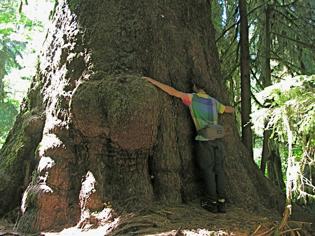 Giant Spruce Tree On Vancouver Island