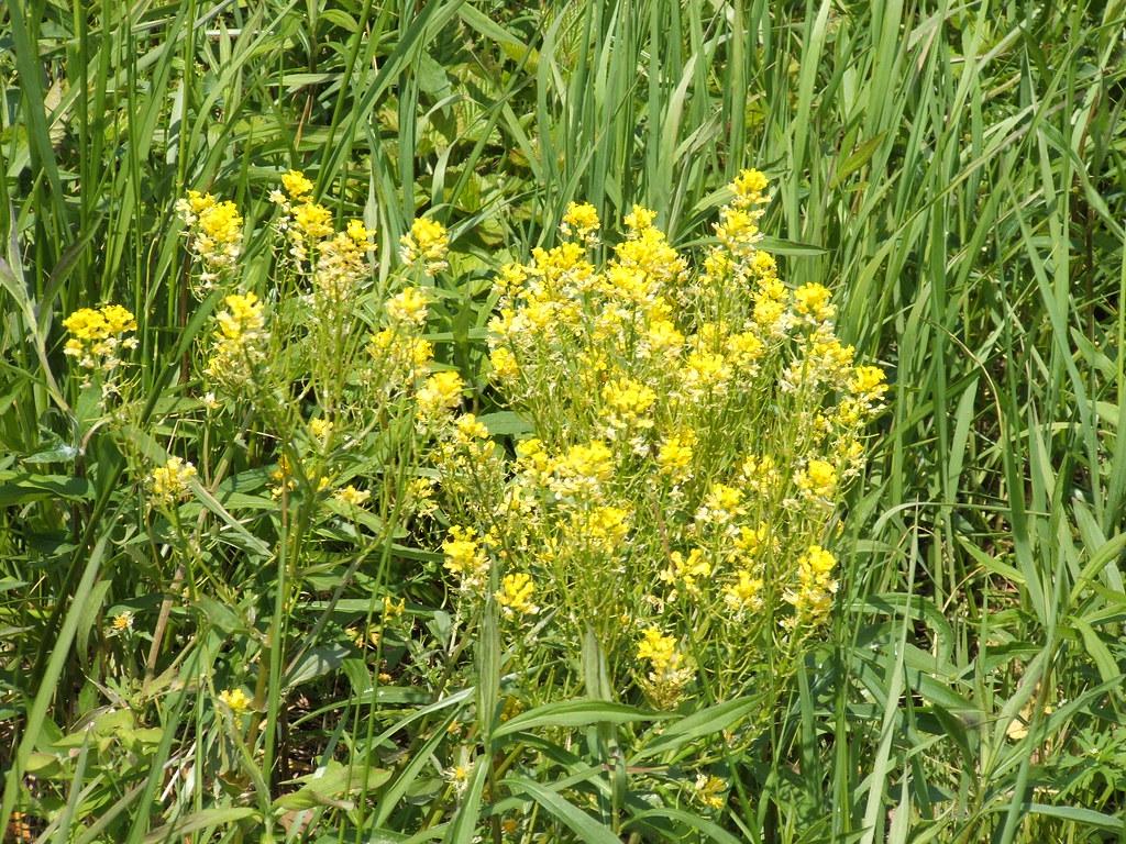 Goldenrod Kentucky s state flower Bloomfield Kentucky 2…