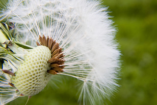 Dandilion seeds | by Identity Photogr@phy