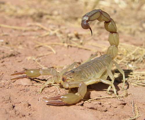 Large scorpion (Androctonus amoreuxi), southern Morocco | by Arthur Anker