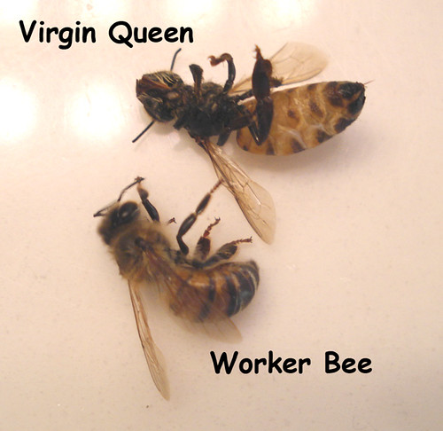 Virgin Queen and Worker Bee | 09-04-07 - Comparison in ... Queen Bee Size Compared To Normal Bee