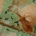 Percevejo // Bug (Haploprocta sulcicornis)