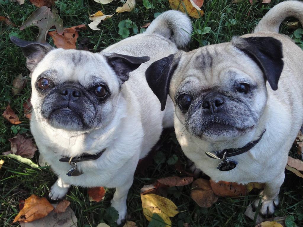 Is A Pug A Small Or Medium Dog