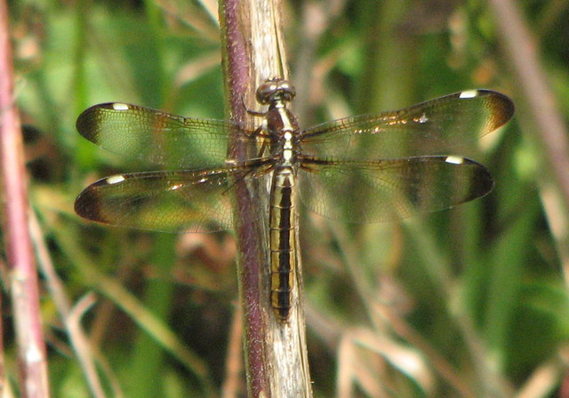 Dragonfly Spangled Skimmer female 073107 | N. Ga. yard ... - photo#27