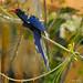 Red-billed Woodhoopoe (Phoeniculus purpureus)