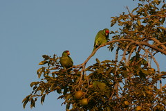 Amazon Parrot fouraging party